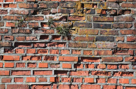 old damaged brick wall with growing  grass for multiple uses photo