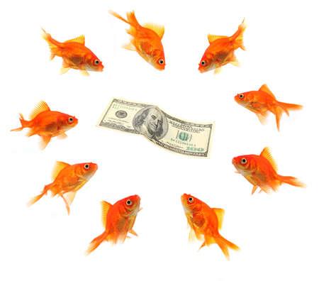 desperation: goldfish group around money isolated on white background Stock Photo