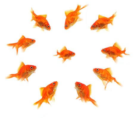 smaller: larger goldfish group around smaller goldfish isolated on white background