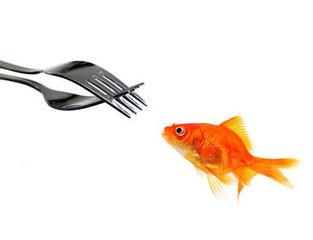 braveness: single goldfish facing forks isolated over white background Stock Photo