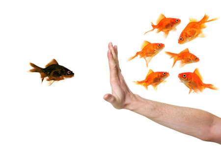 hand discriminating black goldfish isolated on withe photo