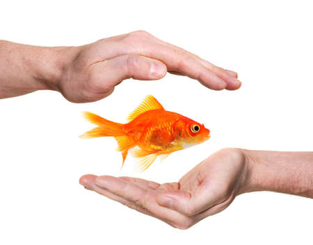 escaping: hands protecting or catching goldfish  isolated on white