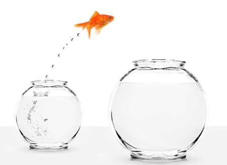 peces de colores: Carassius auratus saltando desde bol peque�o al m�s grande aislado sobre fondo blanco  Foto de archivo