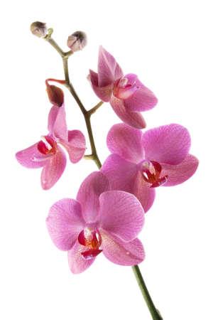 orquídeas moradas aisladas sobre fondo blanco Foto de archivo - 11869742