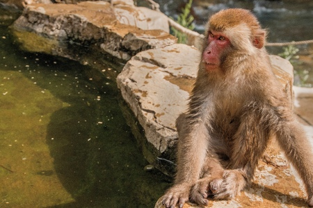 The Jigokudani Monkey Park is a great Place to see Monkeys in Japan