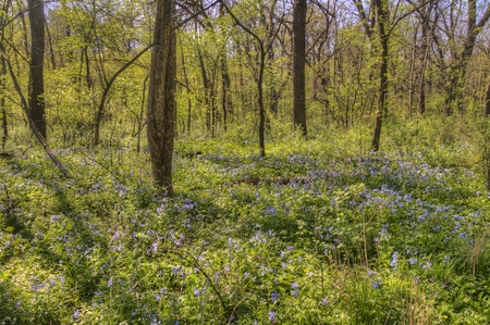 Carley State Park is a Rural area northwest of Rochester, Minnesota with Bluebells in late Spring 스톡 콘텐츠 - 102948637