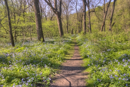 Carley State Park is a Rural area northwest of Rochester, Minnesota with Bluebells in late Spring 스톡 콘텐츠 - 102944346