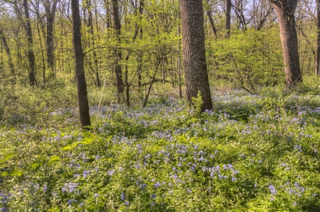 Carley State Park is a Rural area northwest of Rochester, Minnesota with Bluebells in late Spring 스톡 콘텐츠 - 102944360