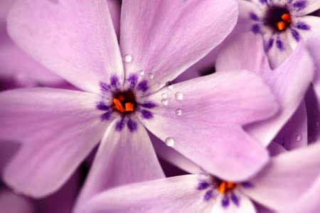 Phlox 꽃 스톡 콘텐츠