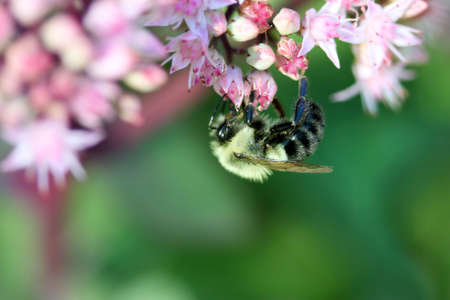 핑크 꽃에 꿀벌
