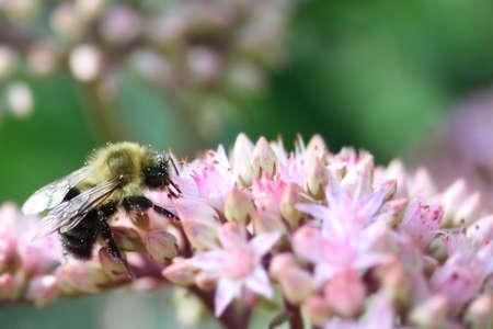 꿀벌 꽃에