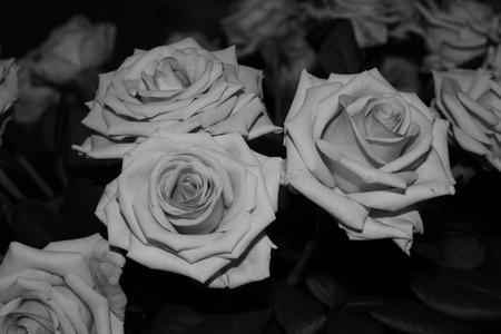 rosoideae: white roses