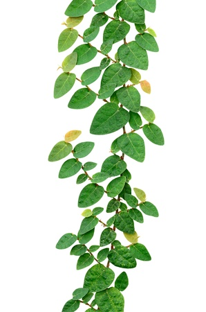 climbing plant: Climbing fix tree or ivy isolated on white, with clipping path.