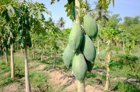 papaya tree: Papaya on tree in farmland. Stock Photo