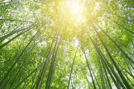 Bamboo forest with sun beam ray, glowing light effect.