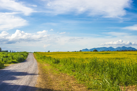 blue green landscape: Urban and country road with green grass and bloom Sunn Hemp flower field landscape, blue sky and white cloud. Beautiful natural background.