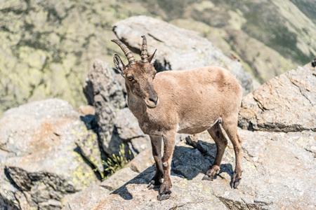 capra: Ibex on top of the rocks. Capra pyrenaica. Regional Reserve Sierra de Gredos, Avila.
