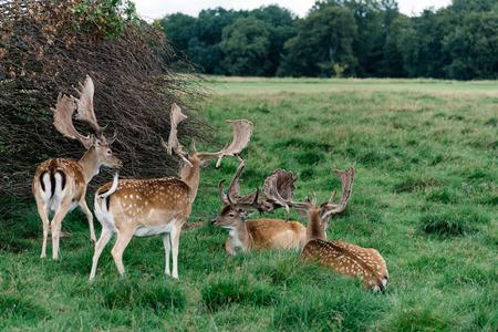 A herd of fallow deers in the wood (Dama dama) in Denmark Stock Photo - 80853828