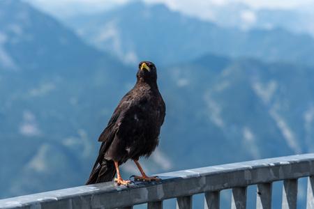 Blackbird on the fence against mountain landscape