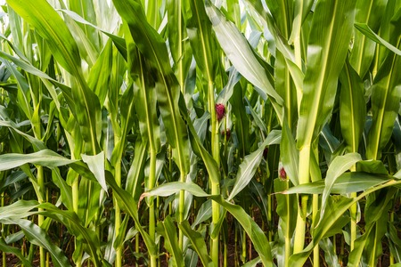 Close up of corn field in the countryside Imagens