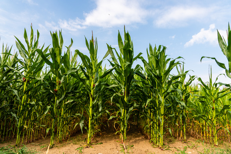 Close up of corn field in the countryside Stock Photo