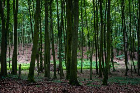 Woodland area of Granitz with European beech, Fagus sylvatica, and sessile oak, Quercus petraea in Rugen Island Reklamní fotografie