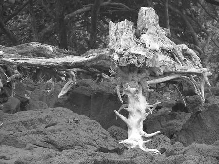 trippy: Trippy �rbol muerto en la costa - hawaii