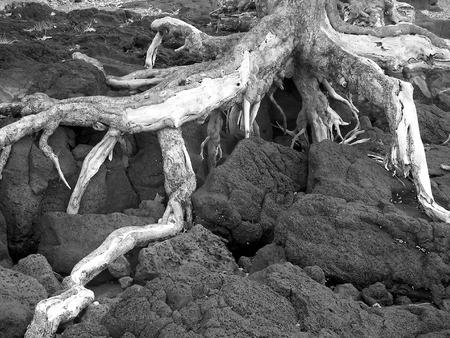 trippy: Trippy �rbol muerto en la costa - 2 hawaii  Foto de archivo