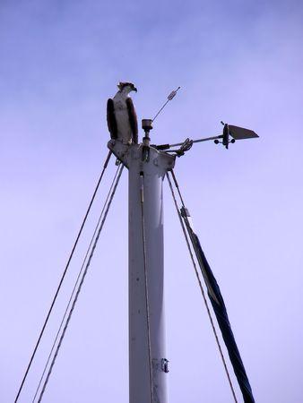 osprey: osprey perched on sailboat
