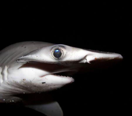 bonnethead (shovelhead) shark in florida photo