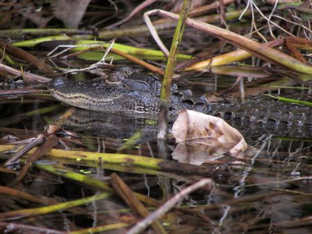 alligator in the bayou photo