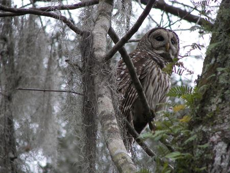 spotted owl photo