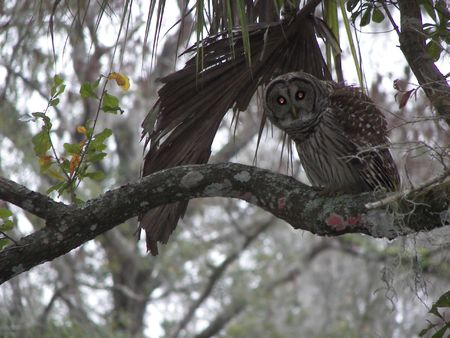 spotted owl stare down photo