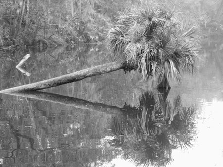 palm reflections in bayou photo
