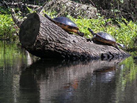 cooter: turtles in ocala, fl Stock Photo