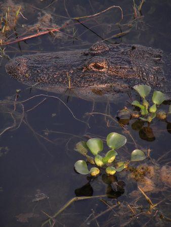 florida gator close up photo