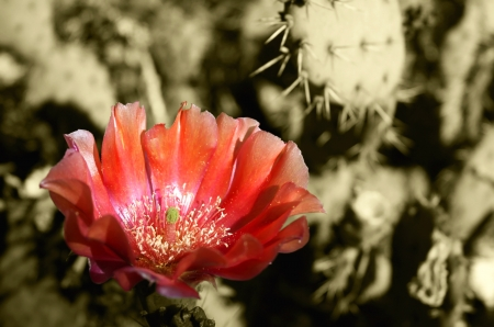 arizona desert prickly pear cactus bloom