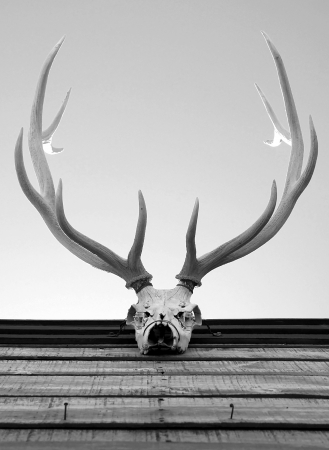 elk skull and horns decor photo