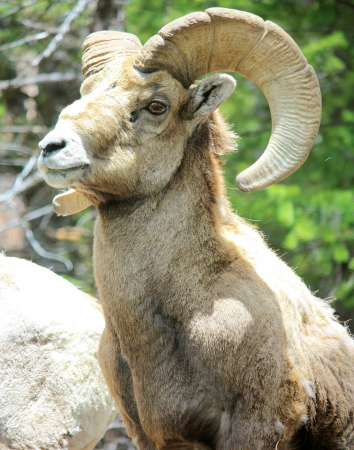rocky mountain bighorn sheep: bighorn sheep  ram  - rocky mountain national park, co Stock Photo
