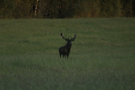 Adult, large male European deer, with large horns, on the field in autumn. Stockfoto