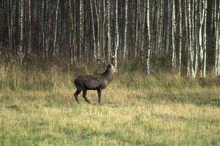 Adult male European deer with large horns, in the forest, early fall. PhotoHunt. Great illustration