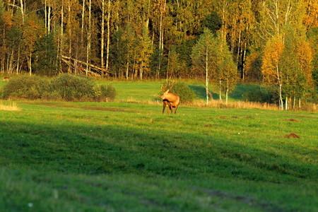 Cerf élaphe européen en automne sur le terrain pendant la saison des amours. Un mâle à grandes cornes. Banque d'images - 95541094