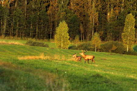 European red deer in autumn on the field during the mating season. A male with large horns.