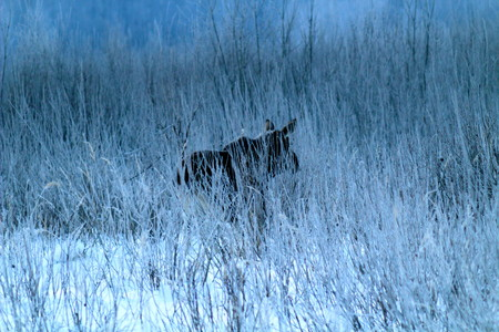 Adult, large female elk, feeding on the field, overgrown with willow bushes. End of winter.