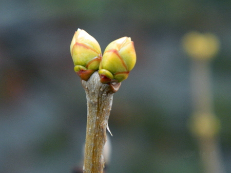Stalk of a plant with buds that blossom in the spring, after hibernation.