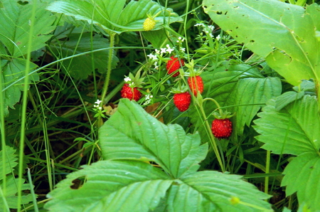 Forest wild strawberries in June, during the ripening period, on a sunny meadow, surrounded by other plants.