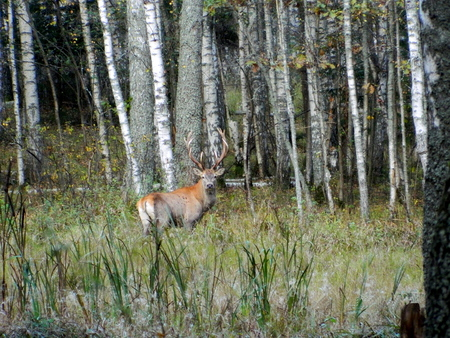 Adult male European noble deer, with large horns in autumn in the wild, during the mating season. Great illustration. Stock Photo