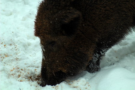 wild boar in winter eating in the forest