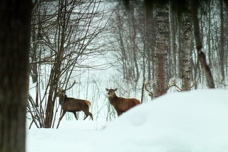 Adult and large males of the European Noble deer during the period of discharge of horns in the wild in early spring Stock Photo