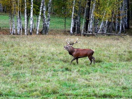 Adult, large male European noble deer with large horns, against the background of autumn nature during the rut.